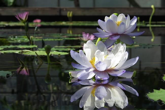 睡蓮の花.jpg